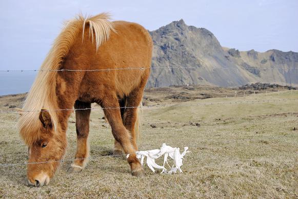 Pferd auf den Westmännerinseln