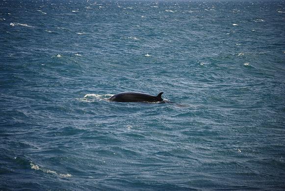 Zwergwal - Minke whale