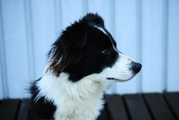 isländischer Hund :-)