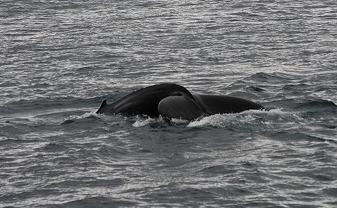 Mehr Buckelwale