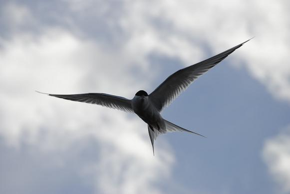 Arctic Tern - Küstenseeschwalbe kurz vorm Angriff
