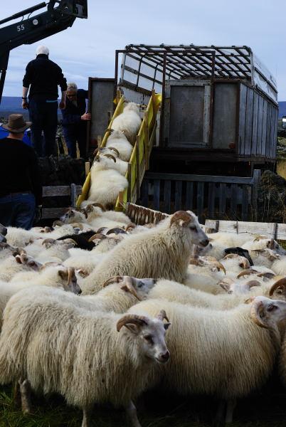 Verladen der Schafe