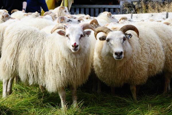 Auch die Schafe bekommen einiges ab... blutende Nasen, Hörner...