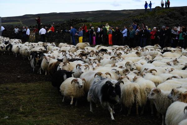 Schafeinlass in die Sortierstelle