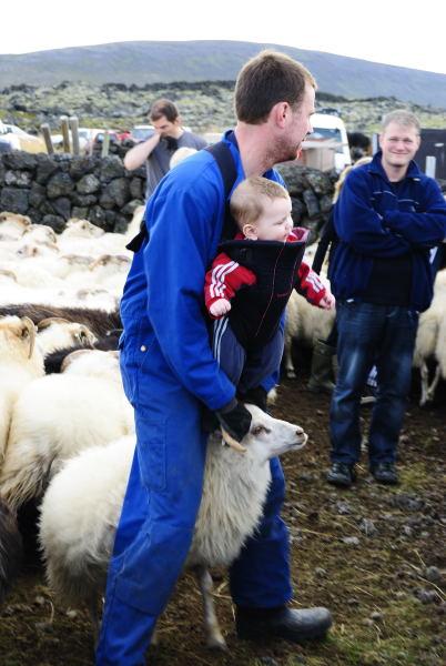 Die Isländer fangen schon sehr jung an Schafe zu fangen